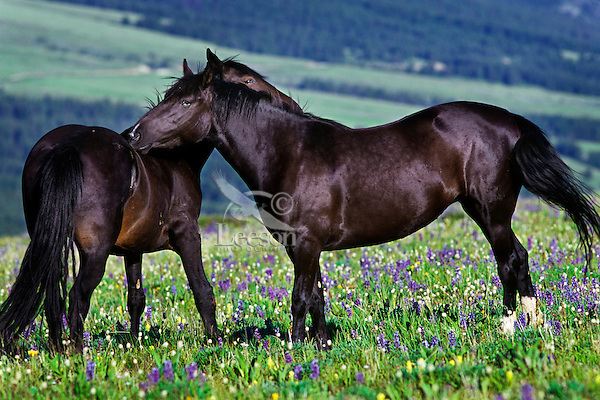Two wild horses (Equus caballus) grooming one another.  Western U.S., Summer.