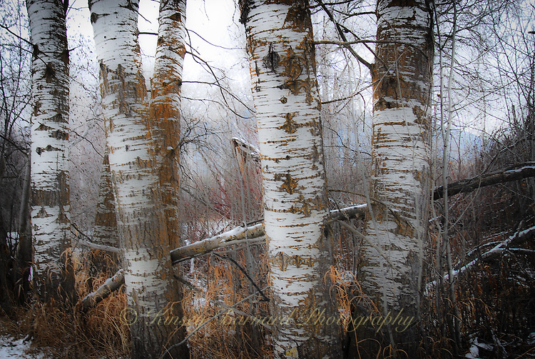 Stand of aspen in winter showing the beautiful texture of the aspen bark.