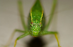 Scudderia Katydid, Close Portrait, Southern California