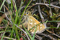 Komma-Dickkopffalter, Komma-Dickkopf, Kommafalter, Weibchen bei der Eiablage, Hesperia comma, silver-spotted skipper, common branded skipper, Holarctic grass skipper, female, Le Comma, Virgule, Dickkopffalter, Hesperiidae