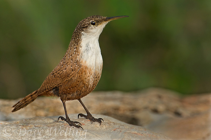 598070011 a wild canyon wren catherpes mexicanus perches on a rock on a private ranch in the hill country of central texas