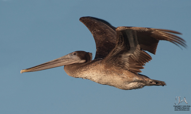 Brown Pelican in flight in La Paz, Mexico. Captured from the side, near sunset with wings spread wide.