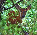 A Deer seen in the Esopus Bend Nature Preserve, in Saugerties, NY, on Friday, September 1, 2017. Photo by Jim Peppler. Copyright/Jim Peppler-2017.