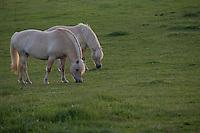 Norwegisches Fjordpferd auf der Weide, Norweger, Fjordinger, Fjordpony, Fjord-Pferd, Fjordpferd, Fjord horse, Norwegian Fjord Horse, Hamfelder Hof, Schleswig-Holstein