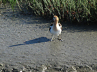An extra pair of legs is the only evidence that the chick, fresh from the water, is under the adult's wing.