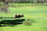 Caribou in Rocky Mountain National Park, Colorado, USA