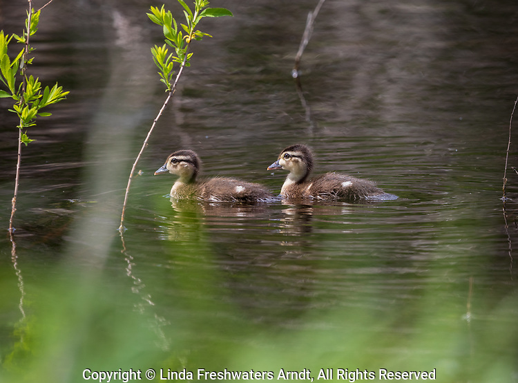 Wood ducks - ducklings swimming in northern Wisconsin.
