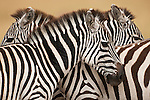 Standing together, three Burchell's zebras become a confusing blend of stripes on the golden plains of the Masai Mara in Kenya.