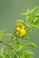 Adult male Prairie Warbler (Dendroica discolor). Tompkins County, New York. May.