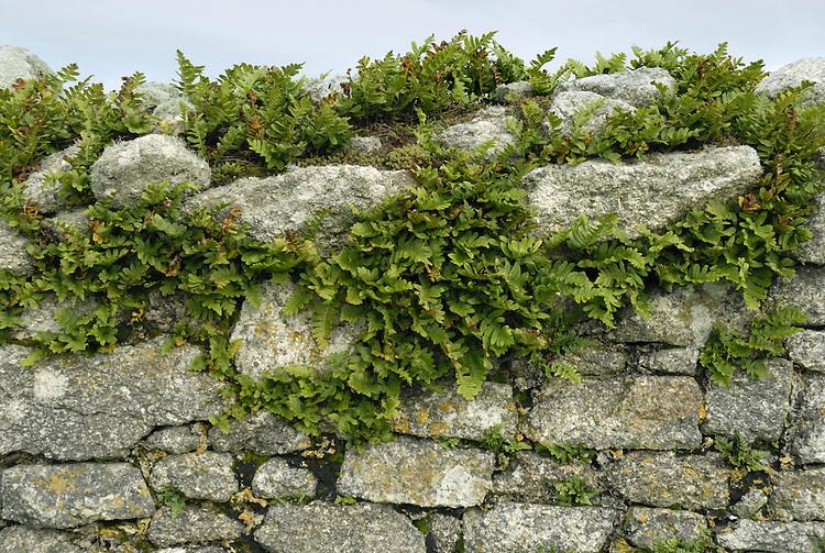 Polypody - Polypodium vulgare - Lundy stone wall