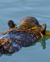 Southern Sea Otter (Enhydra lutris)  wrapped in kelp while resting. Wrapping in kelp helps keep them from drifting with the tide.  I also believe this one is using kelp to keep the sun out of its eyes.