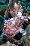 Antennartius maculatus, Warty frogfish, Lembeh, Indonesia