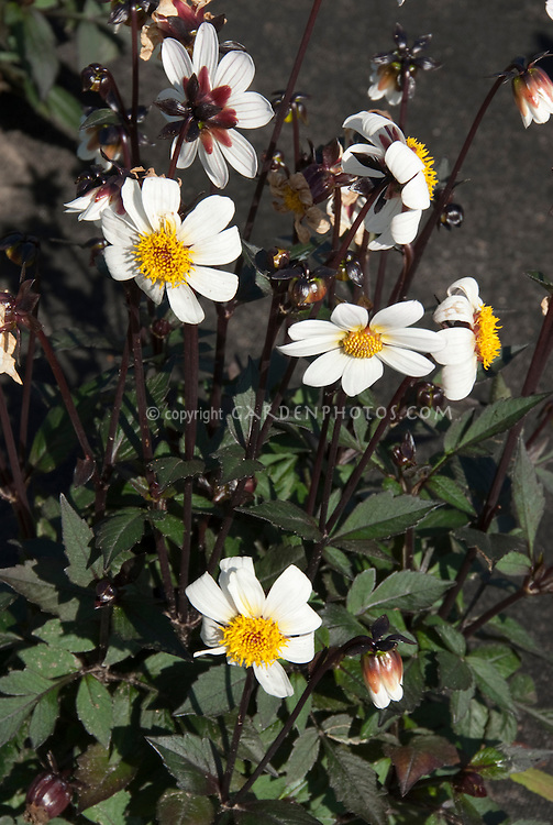 Dahlia 'Keith's Pet' dark-leaved single white flowers (Single)