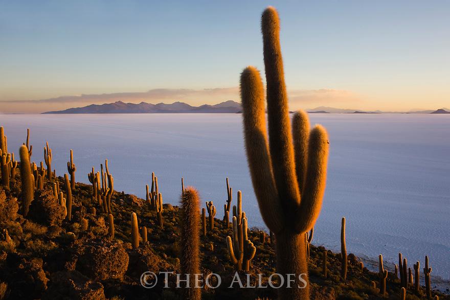 Bolivia, Altiplano, Salar de Uyuni, world's largest salt flat; rare cacti (Echinopsis tarijensis) on Isla Inkahuasi at sunset