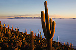 Bolivia, Altiplano, Salar de Uyuni, world's largest salt flat; rare cacti (Echinopsis tarijensis) on Isla Inkahuasi at sunset