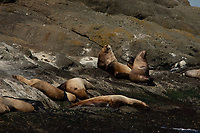 Steller Sea Lions, San Juan Islands, Washington, US