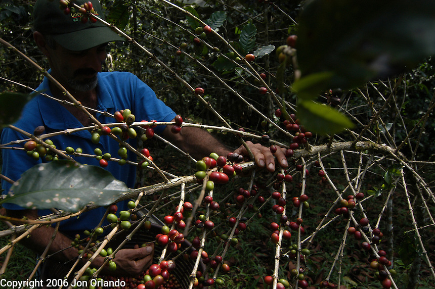 Picking the coffee beans at a shade-grown coffee plantation in Costa Rica.