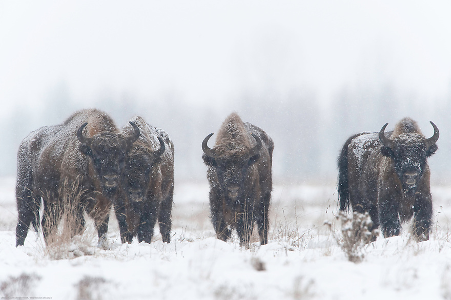 European bison (Bison bonasus) in the agricultural field, Bialowieza, Poland