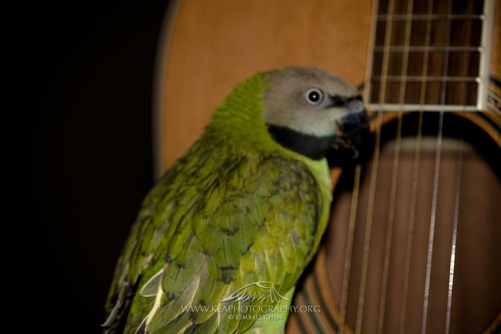 Moustache Parrot (Parakeet) | Kea Photography