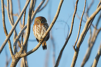 Ferruginous Pygmy-Owl (Glaucidium brasilianum). Yucatan. Mexico. February.