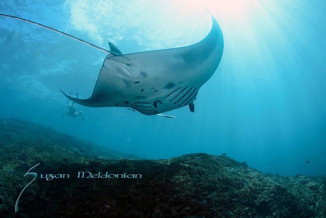 Manta Ray , Nusa Penida, Indonesia with Nicki Wirawan,