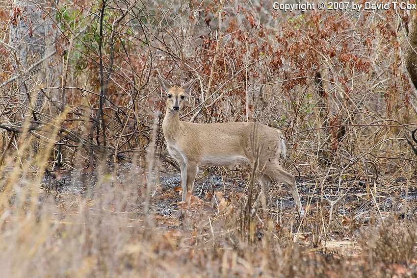 Common Duiker, Mkuze Game Reserve, SA