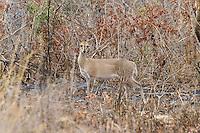 Common Duiker, Mkuze Game Reserve, SA