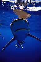 "A ""nose on"" view of an oceanic whitetip shark, Carcharhinus longimanus, with pilot fish close by, at the surface.  Hawaii."