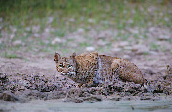 Bobcat, Felis rufus, adult drinking, Starr County, Rio Grande Valley, Texas, USA, May 2002