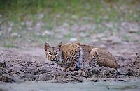Bobcat, Felis rufus, adult drinking, Starr County, Rio Grande Valley, Texas, USA, May 2002