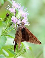Teleus longtail skipper