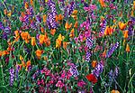 Poppies, vetch and clarkia, Napa Valley, California