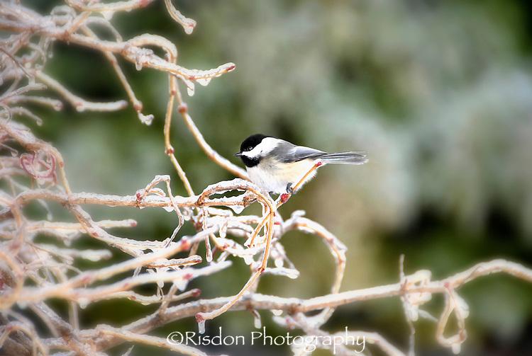 Chickadee on frozen branch,