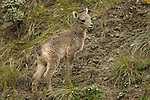 A newborn bighorn sheep lamb plays on the hillside in Yellowstone National Park, May 30 2011. Photo by Gus Curtis.