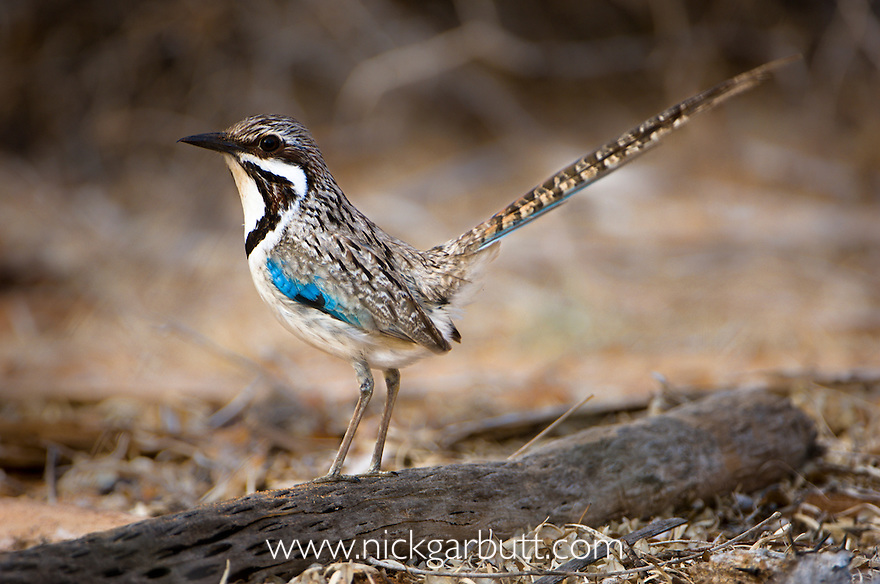 Long-tailed Ground Roller (Uratelornis chimaera). Ifaty Spiny Forest, Madagascar.