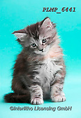 Marek, ANIMALS, REALISTISCHE TIERE, ANIMALES REALISTICOS, cats, photos+++++,PLMP6441,#a#, EVERYDAY