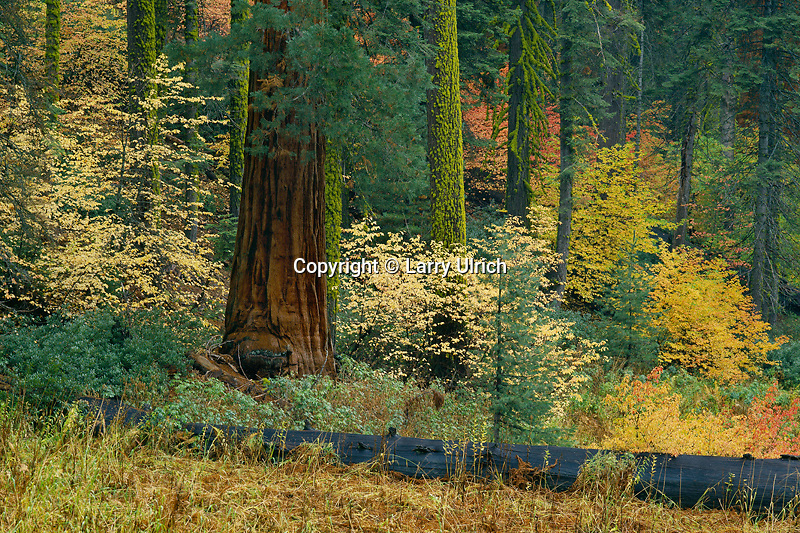 Mountain dogwood and giant sequoias<br />