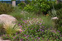 Wildflowers (Callirhoe leiocarpa, Tall poppy mallow, winecup) and grasses in Xeric Garden, Rio Grande Botanic Garden