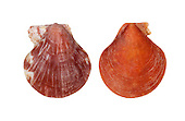 Tiger Scallop - Palliolum tigerinum