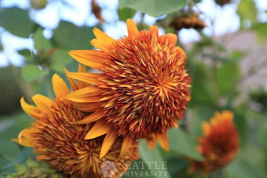 08222013- Sunflowers grow at the Seattle University's Urban Farm in Renton, Wash.