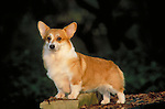 Corgi, pembroke welsh<br />
