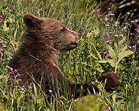 This grizzly bear (Ursus arctos horribilis) cub is savoring the sweet smell of cow parsnips when it is young and sweet, just like him/her. Native Americans thought of it as candy too! Mount Washburn, Yellowstone.