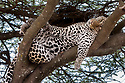 Leopard (Panthera pardus) male sleeping / resting on a tree bough. Long Gully near Ndutu, Ngorongoro Conservation Area, Tanzania. April.