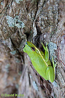 0605-0910  American Green Treefrog Climbing Tree at Outer Banks North Carolina, Hyla cinerea  © David Kuhn/Dwight Kuhn Photography