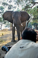Photographer photographing wild African Elephant bull.