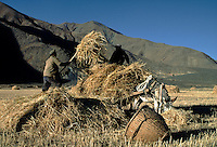 Tibetan farmers harvest barley straw with a horse drawn cart - Gyantse Valley, Tibet