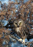OW17-005z  Saw-whet owl - camouflaged - Aegolius acadicus