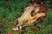 Gray wolf or timber wolf skull (Canis lupus)..Autumn. Canada..