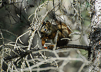 Squirrel eating a pine cone in a tree.