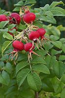Kartoffel-Rose, Runzel-Rose, Kartoffelrose, Runzelrose, Rose, Hagebutte, Hagebutten, Früchte, Rosa rugosa, Japanese Rose, Rosier du Japon